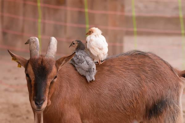 Chèvre et poussins à la ferme d'animation de Liepvre