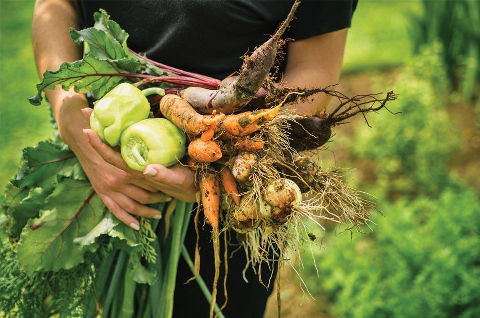 Récolte de légumes bio aux Jardins de Galilée à Provenchères-et-Colroy