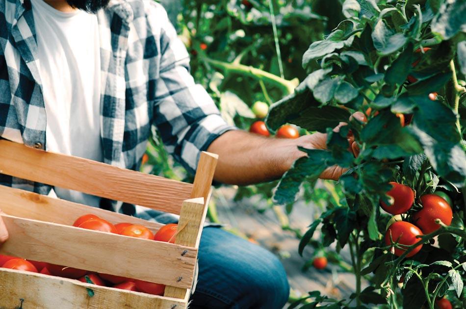 Récolte de tomates bio aux Jardins de Galilée à Provenchères-et-Colroy