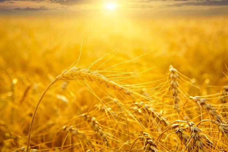 culture du blé